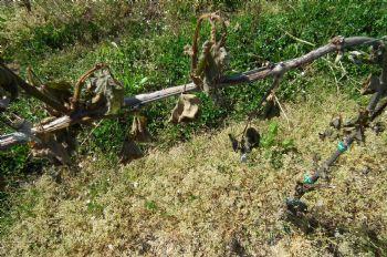 L'irrigazione multifunzionale: una risposta ai cambiamenti climatici per la viticoltura